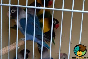 Lovebird For Sale in the UK