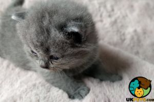 British Shorthair Dogs Breed