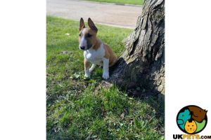 English Bull Terriers For Sale