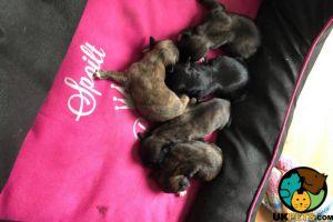 Lhasa Apso For Sale in Lodon