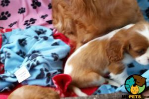 Cavalier King Charles Spaniel Online Ad