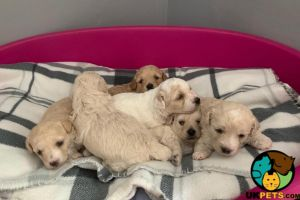 Miniature Poodle For Sale in the UK