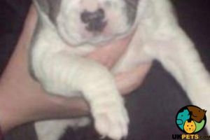 Staffordshire Bull Terrier For Sale in Lodon
