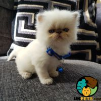 Persian Cats And Kittens For Sale In The Uk Uk Pets