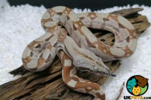 Boa Snakes for Rehoming