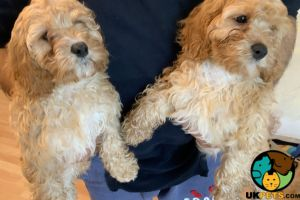 Available Cavapoos