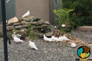 Dove for Rehoming