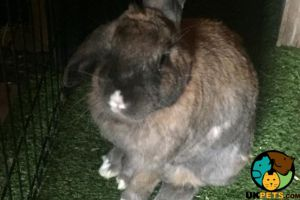 French Lops For Sale