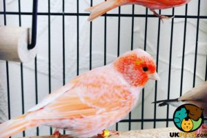 Canary For Sale in Lodon
