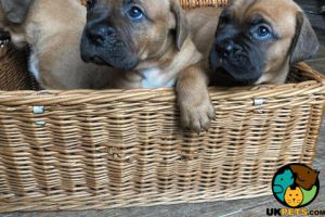 Dogue De Bordeaux Online Listings
