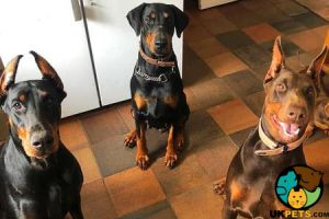 Doberman Pinscher for Rehoming