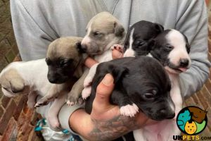 Cute Whippet For Sale