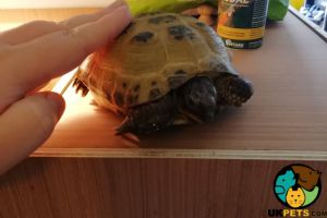Tortoises for Rehoming