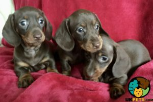 Miniature Dachshund Dogs Breed