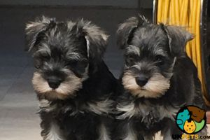Miniature Schnauzer Dogs Breed