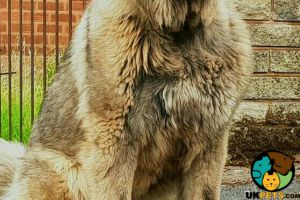 Caucasian Shepherd Dog For Sale in Great Britain