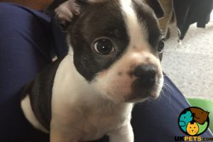 Boston Terrier For Sale in the UK