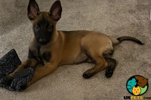 Belgian Malinois Poultry Breed