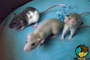 Rats for Rehoming