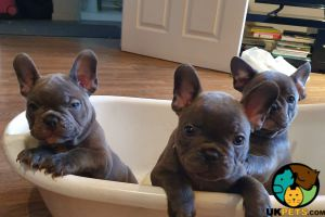 French Bulldog Birds Breed