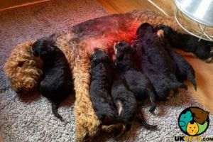 Cute Airedale Terrier For Sale