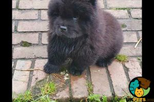 Chow Chow Dogs Breed