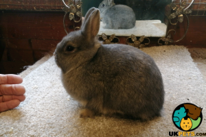 Netherland Dwarfs for Rehoming