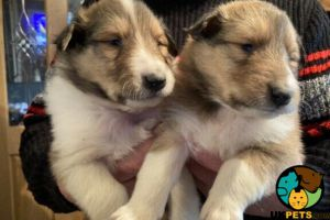 Rough Collie for Rehoming