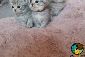 Scottish Fold for Rehoming