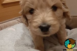 Goldendoodle For Sale in Lodon