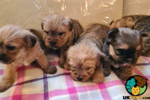 Cairn Terrier Dogs Breed