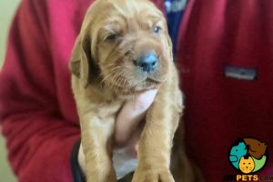 Cute Irish Setter For Sale