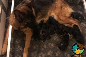 German Shepherd Cats Breed