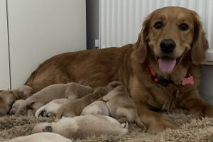 Golden Retriever For Sale in the UK