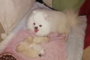 Pomeranian for Rehoming