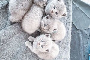 British Shorthair for Rehoming