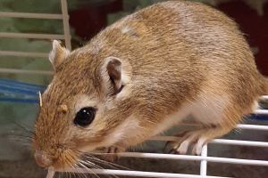 Gerbil for Rehoming