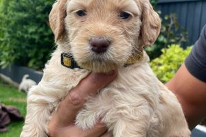 Available Goldendoodles