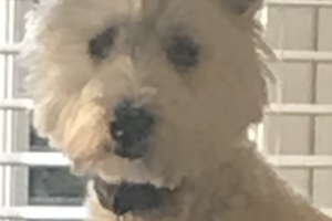 West Highland Terrier For Sale in Great Britain