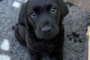 Labrador Retrievers For Sale