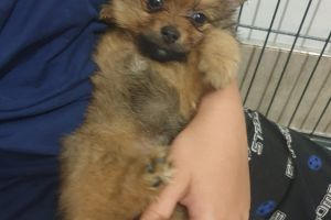 Pomeranian For Sale in the UK