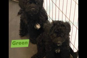 Schnoodle For Sale in the UK
