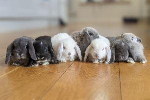 Mini Lop Advertisement UK Pets