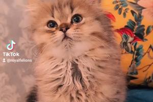Persian Cats Breed