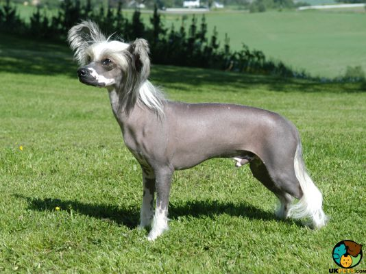 Chinese Crested in the UK