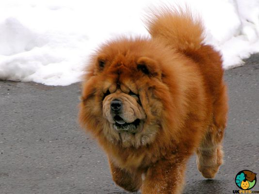 Chow Chow Puppy