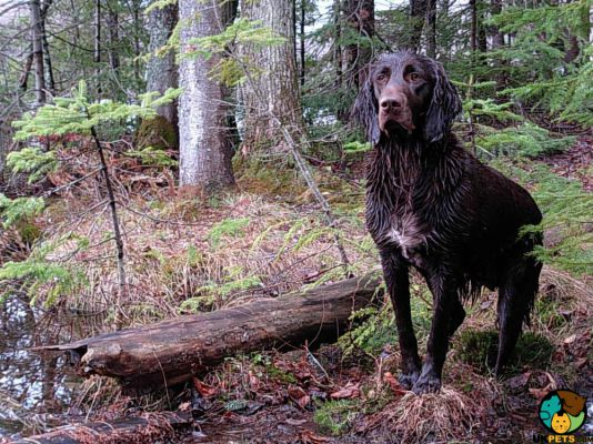 German Longhaired Pointer in the UK