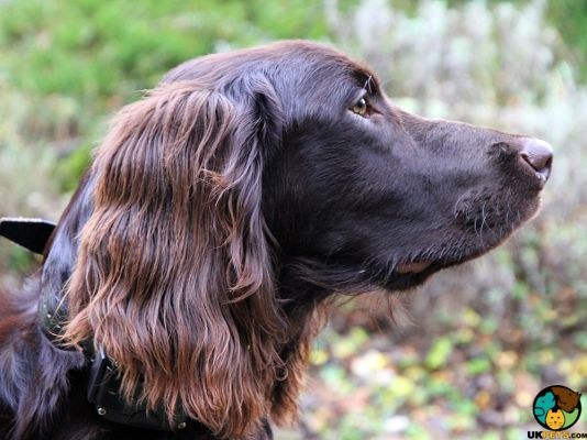 German Longhaired Pointers in the UK