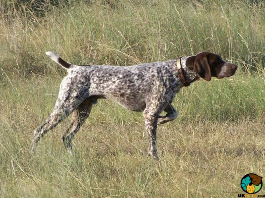 German Shorthaired Pointers in Great Britain