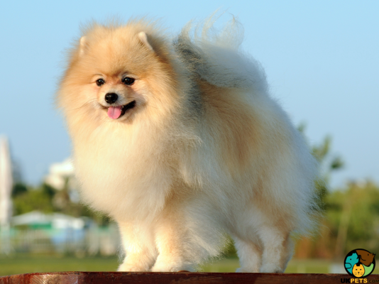 German Spitz Dogs